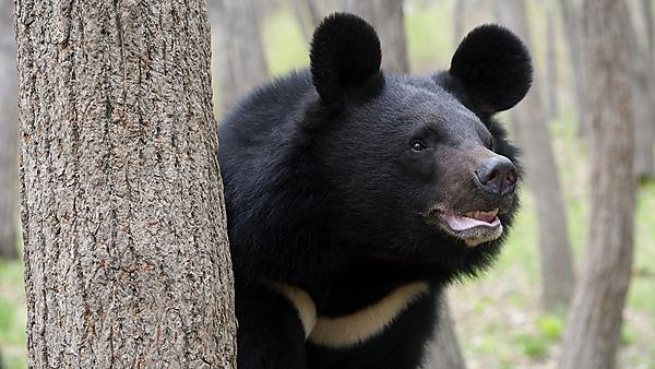 A moon bear rescue tale