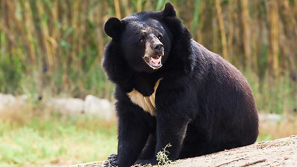 The Asian black bear (Ursus thibetanus), also known as the moon bear – a medium-sized species native to Asia