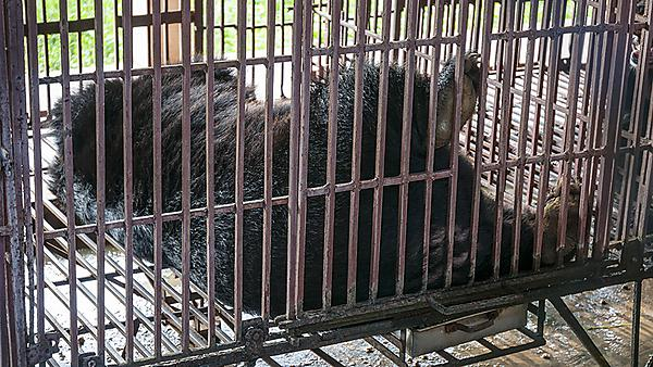A caged Asiatic black bear in Vietnam