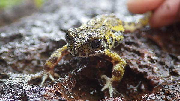 <p>Amboli Toad (<i>Xanthophryne tigerina</i>). Image Credit - Lewis Davies, University of Plymouth<br></p>