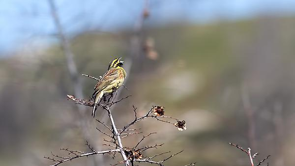 Song characteristics in cirl buntings