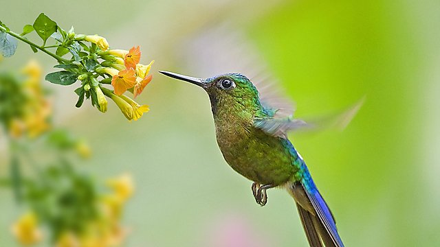 <p>a violet tail sylph hummingbird in flight near a flower, the hummingbird is hovering near the flower to take the nectar from the plant.&nbsp;Credit:  webguzs, courtesy of&nbsp;Getty Images.</p>