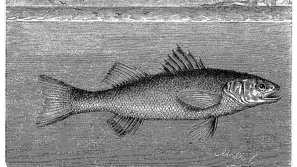 <p>Antique illustration of European seabass (<i>Dicentrarchus labrax</i>)<br></p>
