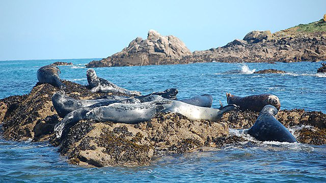 <p>Group of Atlantic grey seals in Isles of Scilly<br></p>