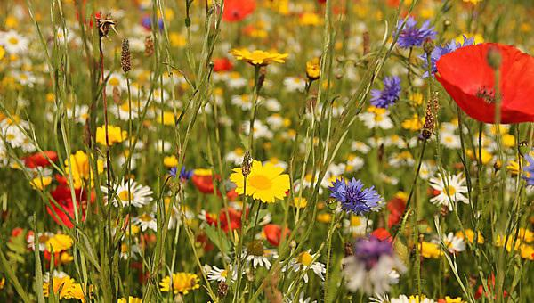 <p>Wildflowers in meadow - close up of wild British flowers in field of grass including poppy, cornflower and daisy blooms<br></p>