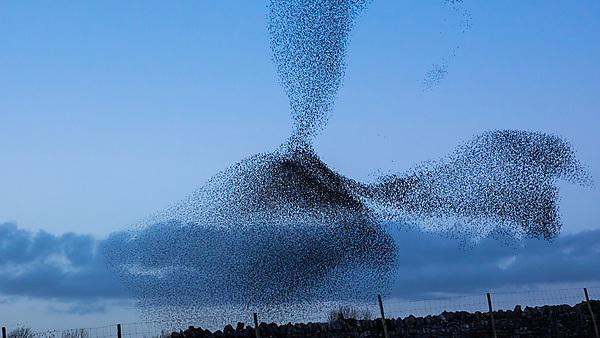 <p>Starlings flying in a formation know as a murmuration<br></p>