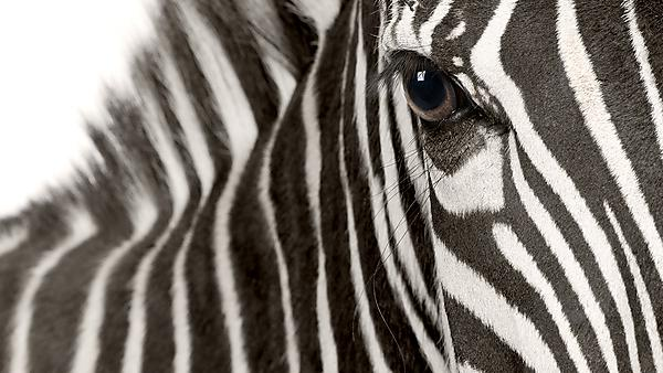 <p>Zebra (4 years) in front of a white background<br></p>