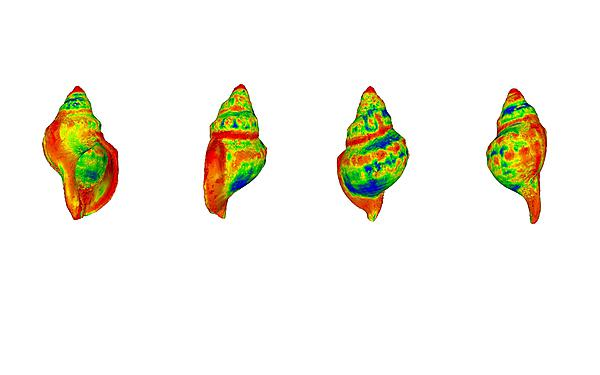 <p>A heat-map demonstrating where differences are most likely to occur in shell shape among gastropods exposed to raised CO2 levels (with red indicating a greater degree of change)<br></p>