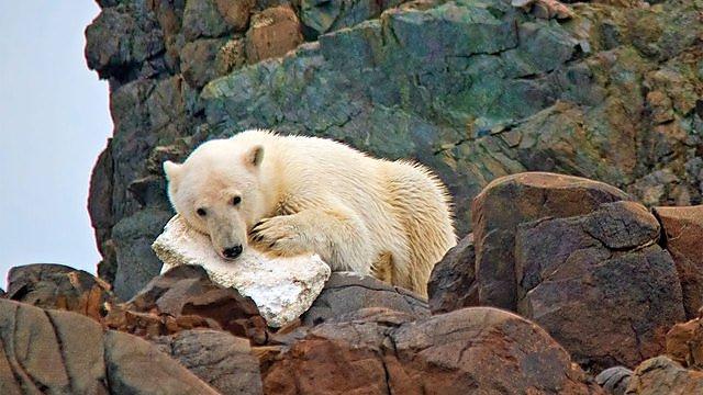 <p>Polar Bear chewing styrofoam, Svalbard</p>