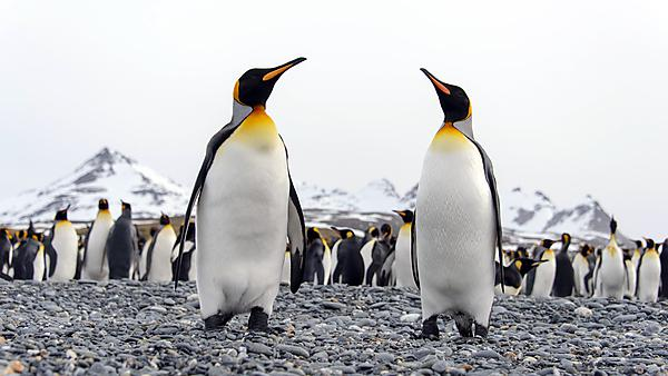 <p>Penguin height, Getty images</p>