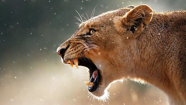 <p>Lions - Getty</p>