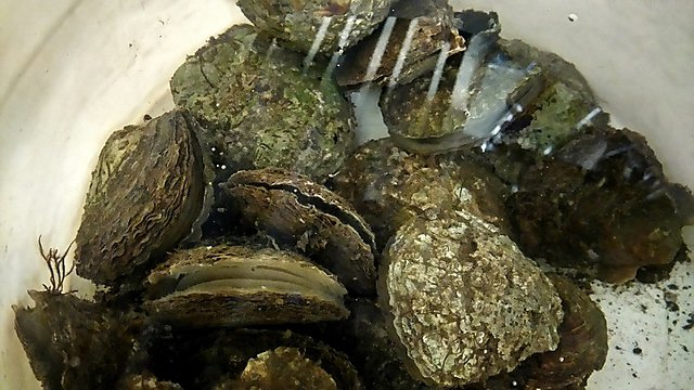 <p>Oysters</p>