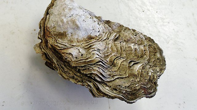 <p>Oyster</p>