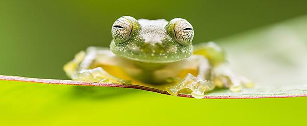 <p>Alex Edwards' picture of a powdered glass frog in the Costa Rican rainforest (Credit: Alex Edwards, University of Plymouth)<br></p>