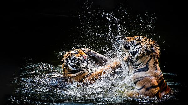 Tigress fights for her patch and survival of cubs in final episode of BBC series