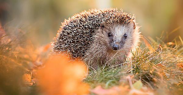 <p>European hedgehog</p>