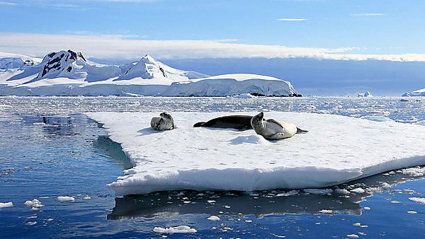 <p>Getty 825546438 Seals in arctic</p>