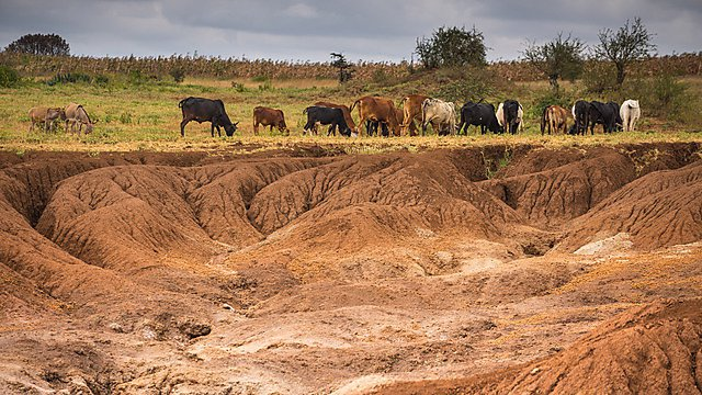 <p>Once the erosion sets in, it spreads rapidly. Here recently formed badlands are eating away at good grazing land<br></p>