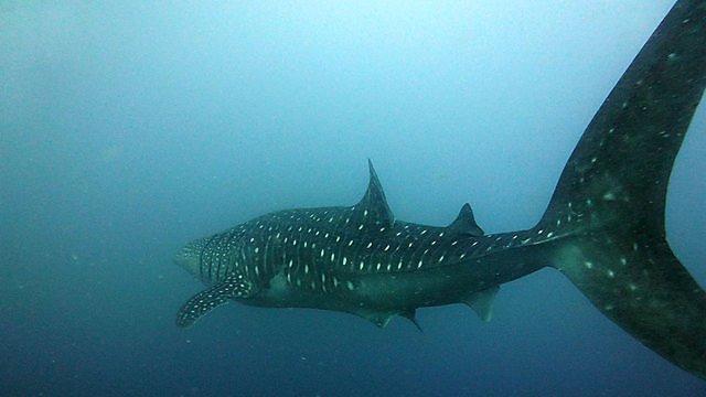 <p>Mark Wilson whale shark</p>