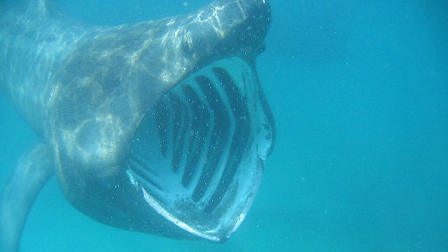 <p>Mark Wilson basking shark</p>