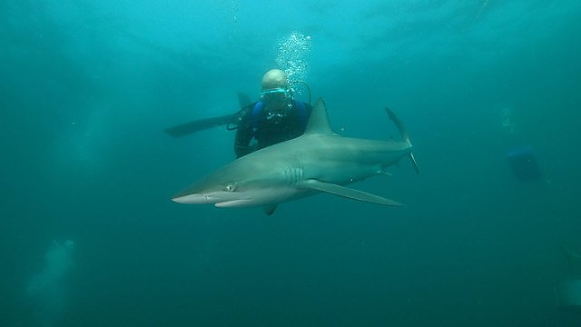 <p>Mark Wilson shark diving</p>