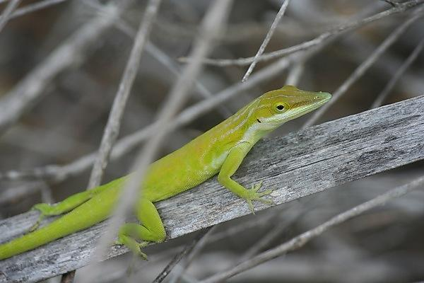 <p>A female <i>Anolis maynardi</i> (Credit: Ruth Smith)<br></p>