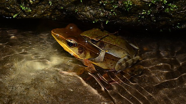 <p>An amplecting pair of Warszewitsch's frogs in El Valle de Antón, Panama<br></p>