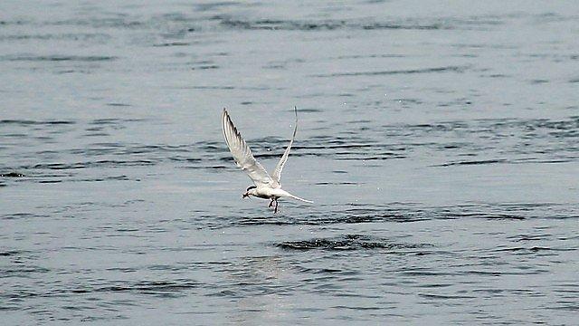 <p>Tern</p>
