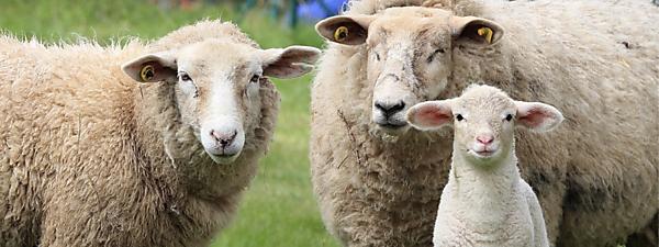 <p>Sheep</p>