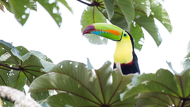<p>Keel-billed toucan (<i></i>Ramphastos sulfuratus)<i></i>