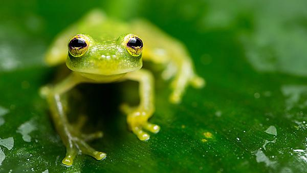 <p>The bare-hearted glass frog (Hyalinobatrachium colymbiphyllum).<br></p>