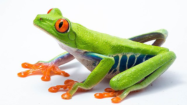 <p>The red-eyed treefrog (Agalychnis callidryas).<br></p>