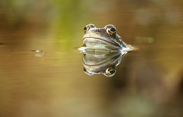<p>Common frog Rana temporaria 4 (c) Greg Hitchcock<br></p>