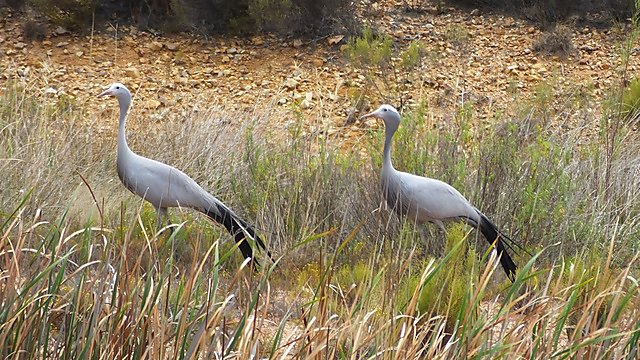 <p>Blue Cranes in South Africa</p>