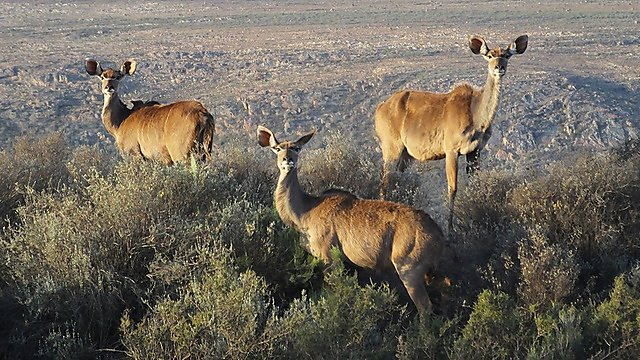 <p>Deer in South Africa</p>