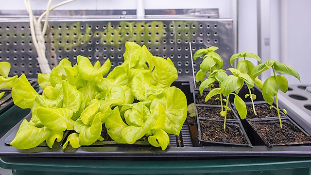 <p>Lettuce and basil growing for the FIND project</p>