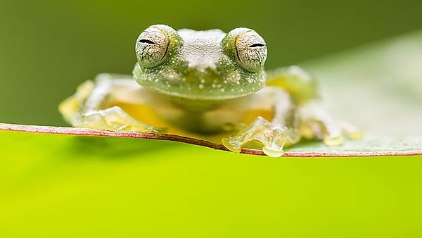 Alex's award winning photograph of thethe bare-hearted glass frog