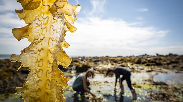 <p>Speciality Crops project - harvesting seaweed</p>