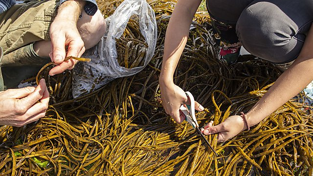 <p>Speciality Crops project - close up of seaweed harvesting</p>