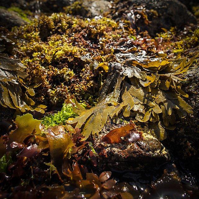 <p>Cornish seaweed</p>