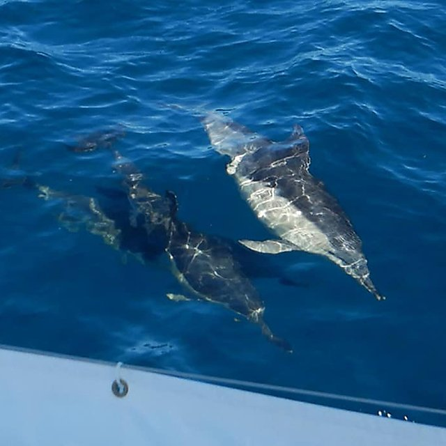 <p>Bow-riding common dolphins<br></p>