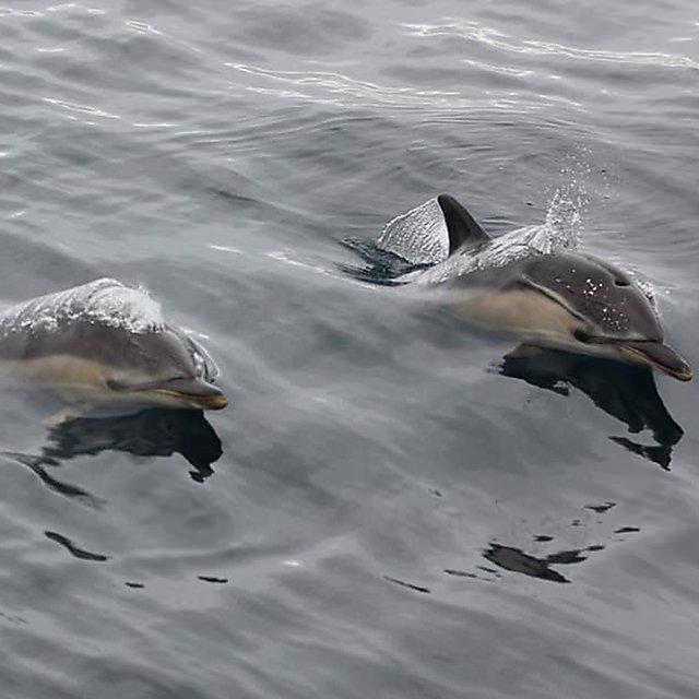 <p>Common dolphins</p>