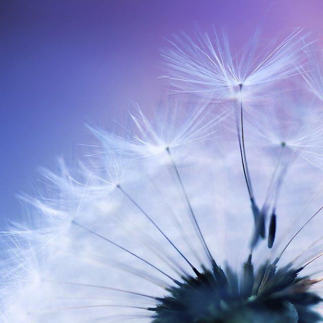 <p>Dandelion</p>