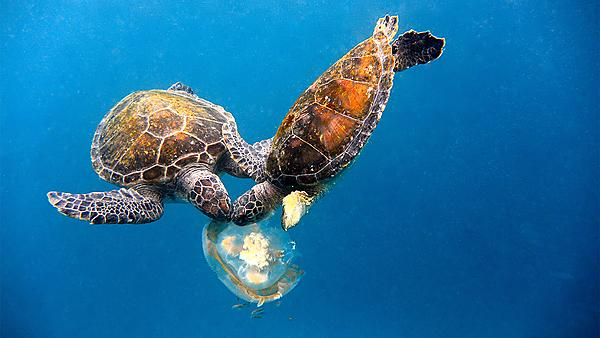 <p>Sea turtles eating a jellyfish in the ocean</p>