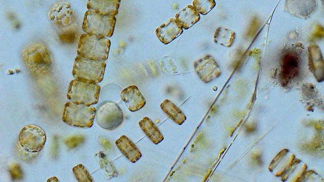 <p>Plankton</p>