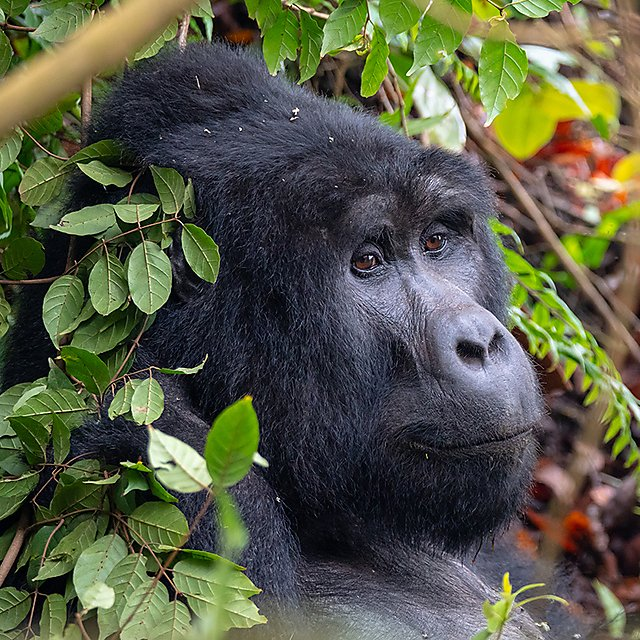 <p>Gorilla in Bwindi Impenetrable Forest, Uganda<br></p>