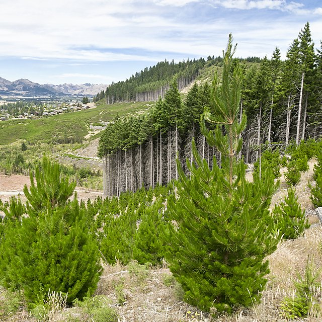 <p>A site of a reforestated forest, next to an established one.</p>
