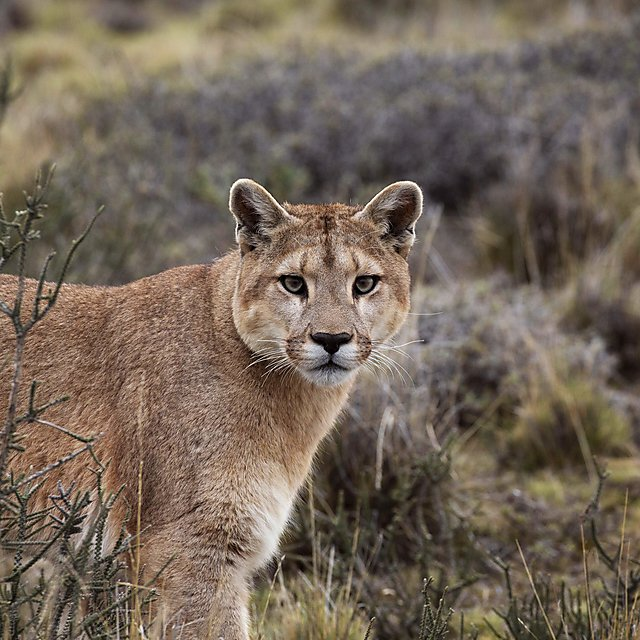 <p>A female puma on the hunt in Torres del Paine, National Park, Chile (Credit Chadden Hunter, BBC NHU)<br></p>