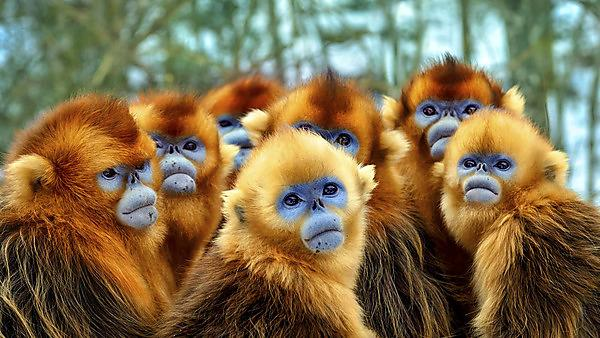 <p>Snub nosed monkeys from Eastern China (Photography: Nick Green. Copyright: BBC NHU)