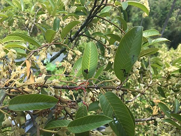Measuring leaf temperatures of Parashorea chinensis